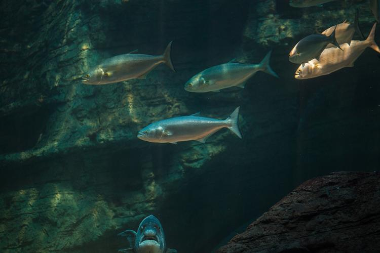 bluefish-NOAA-Shutterstock.jpg