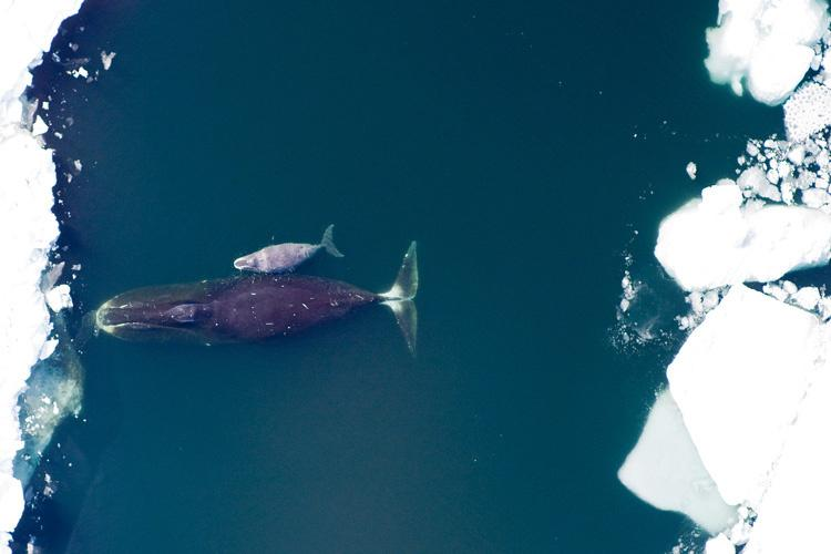Aerial shot looking down at a bowhead whale and calf swimming in the ocean close to sea ice.