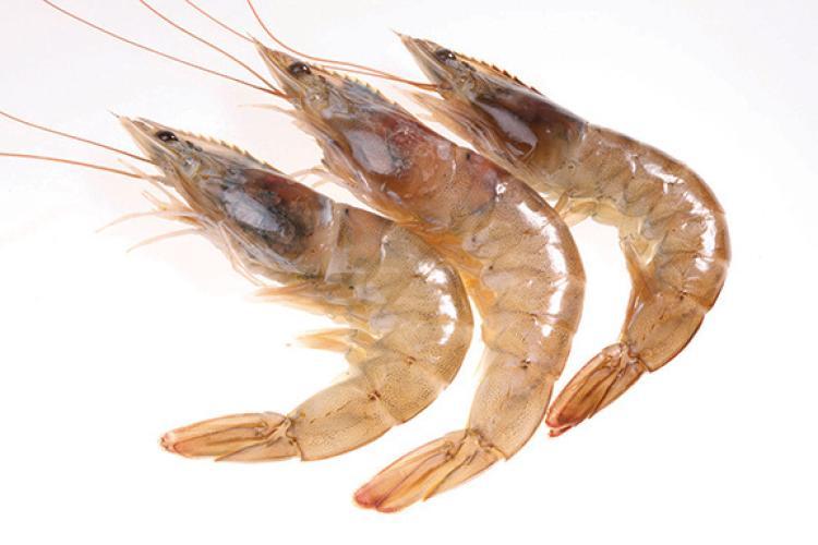 brown shrimp.jpg