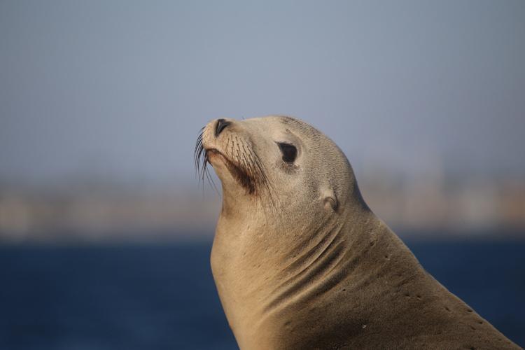 california_sea_lion.jpg