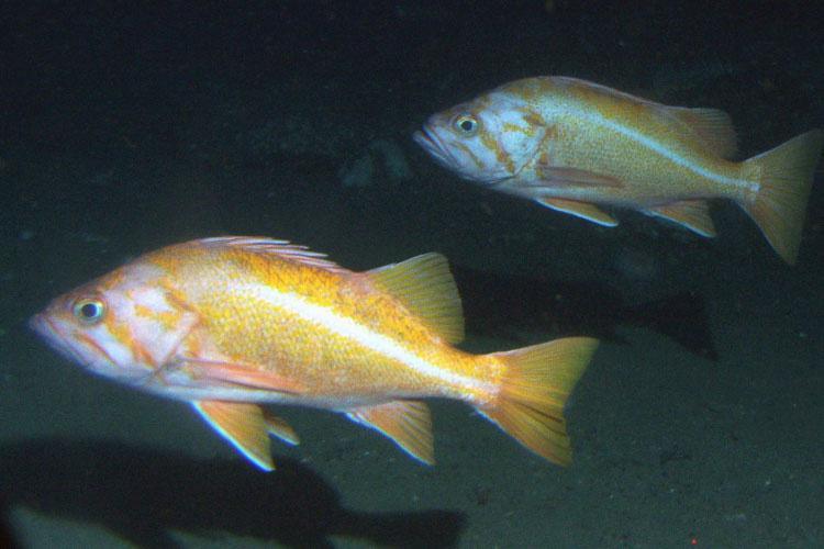 canary-rockfish-noaa-750x500.jpg