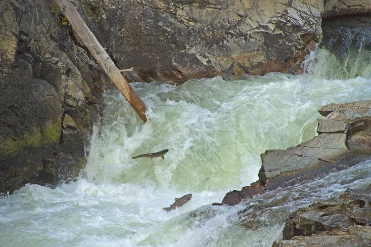 Chinook Salmon at Dagger Falls NMFS 2011