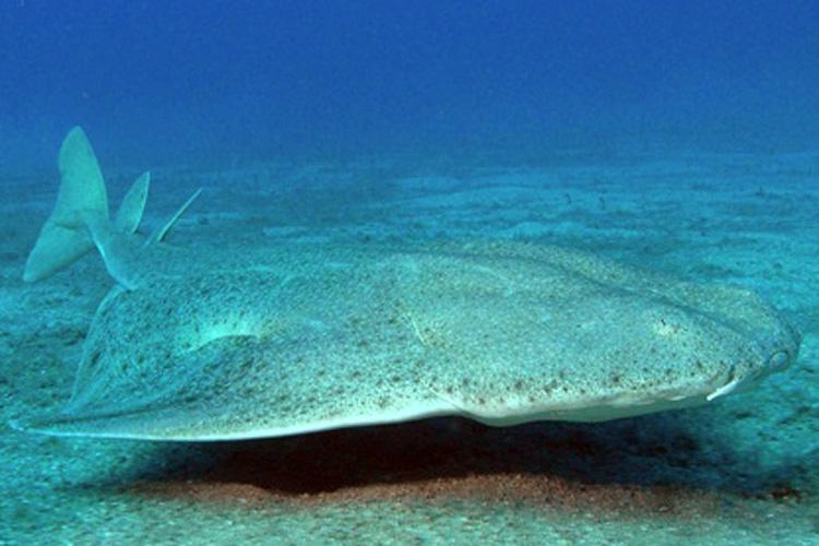 common_angelshark.jpg