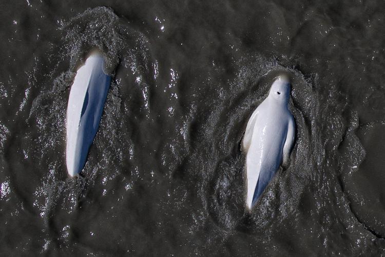 Cook_Inlet-beluga-thumb.jpg