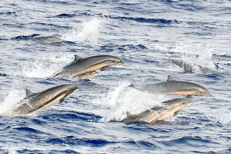 Group of eight Fraser's dolphins swimming and jumping out of blue ocean water.