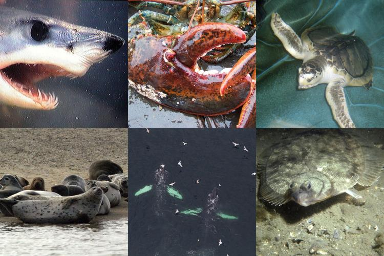 Photo collage, shark, lobster, sea turtle, seals, whales, flounder.