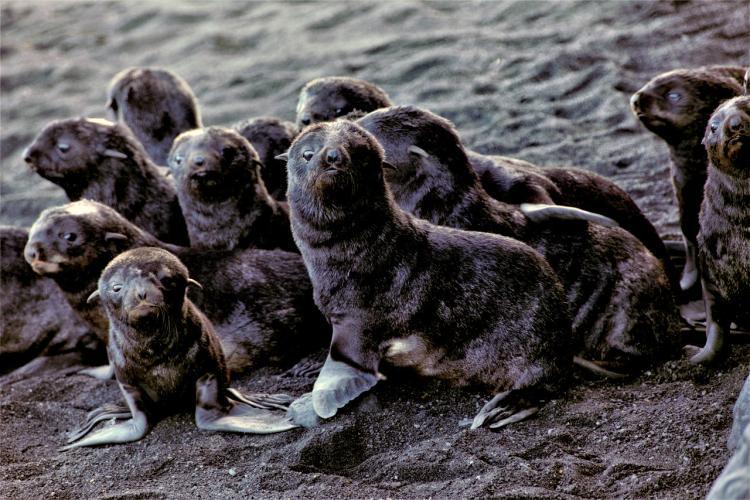 Fur-seal-pups-on-Bogoslof-Island.jpg