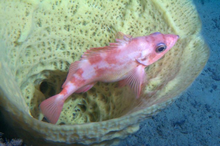 glass sponge and pregnant rockfish.jpg