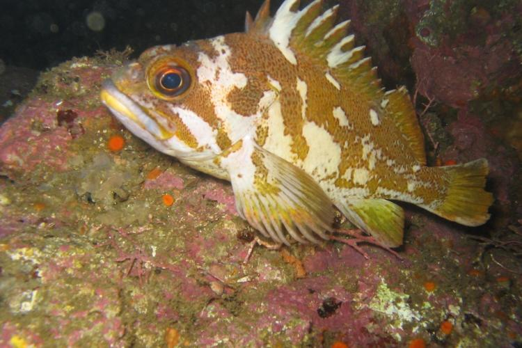Gopher rockfish, reef bottom, CA, NOAA Corps, Lt John Crofts (Flickr).jpg