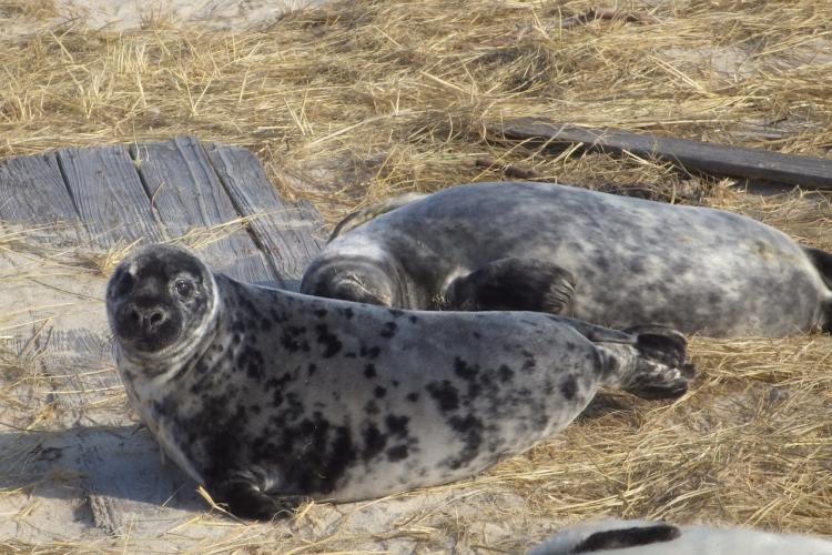 gray-seal-pup.jpg