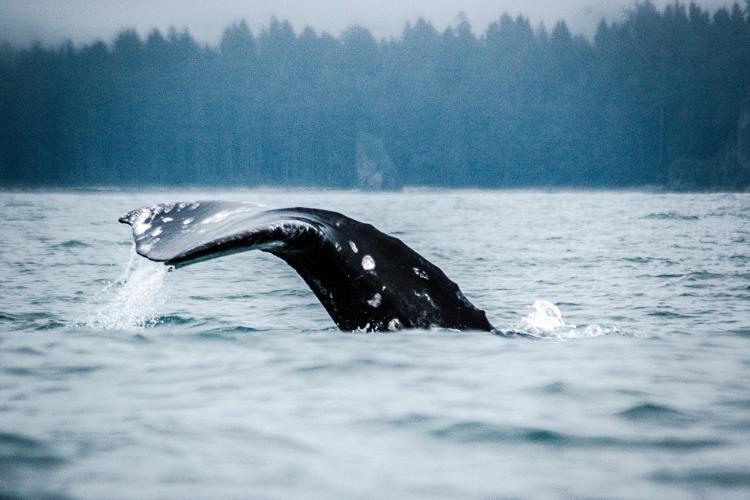 gray_whale.jpg