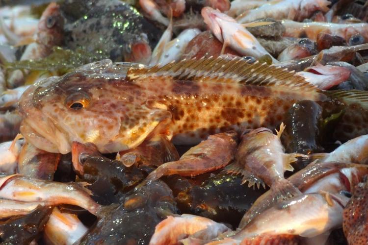 Groundfish onboard closeup - NWFS.jpg
