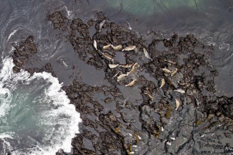 Harbor Seal Aerial Surveys (UAS).jpg