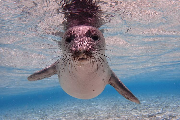hawaiian_monk_seal.jpg