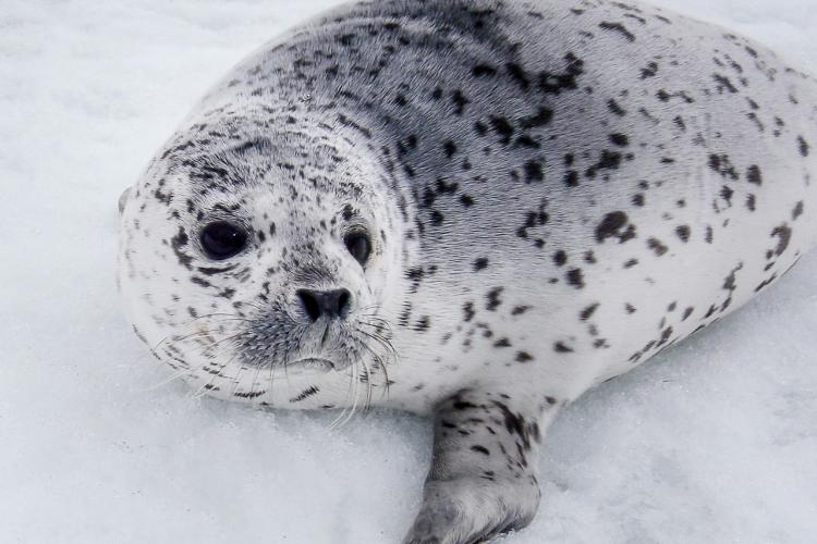 Ice-Seal_nmmlweb-spottedseal-lrg-12 - retouched.jpg