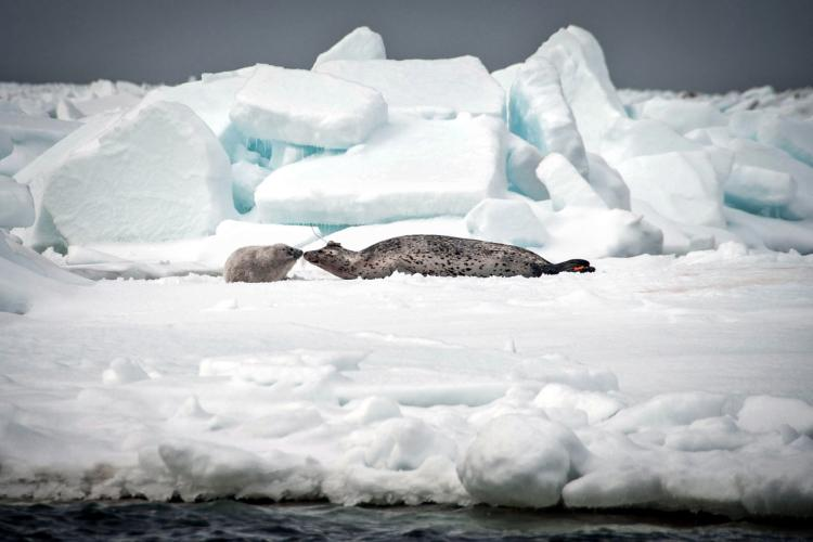 icesealecology_DEW_9572_lg-RETOUCHED.jpg