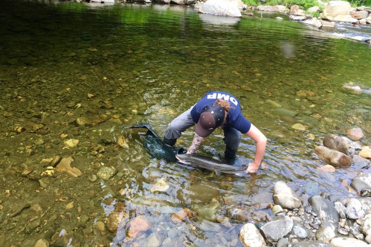 Liberty standing in stream releasing an adult Atlantic salmon.
