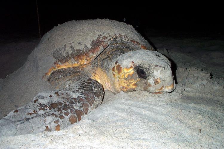 Loggerhead turtle nesting on a beach at night.