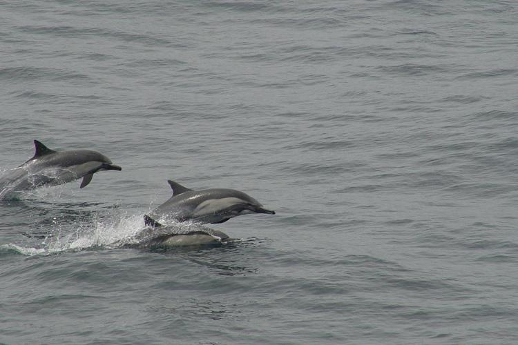 Group of three long-beaked common dolphins swimming and jumping out of ocean water.