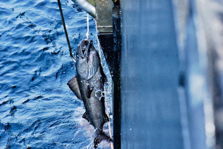 Longline Survey Sablefish_KShotwell.jpg