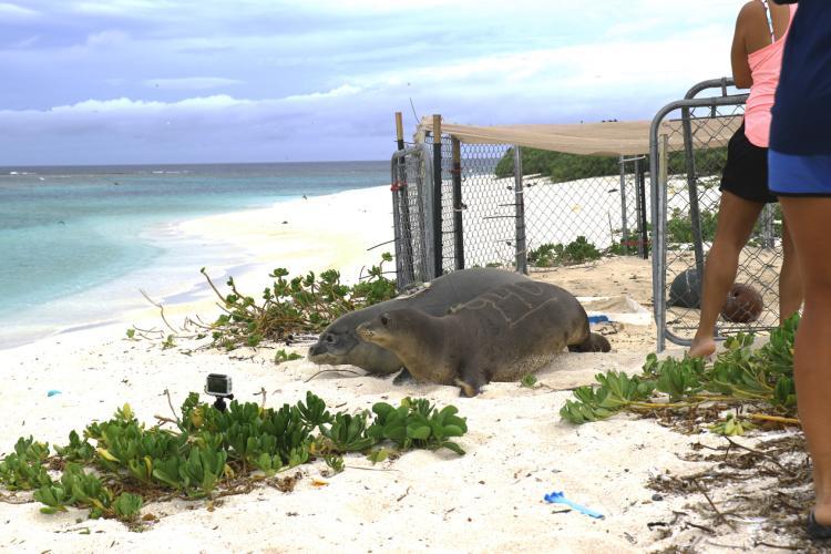 Monk seal release.jpg
