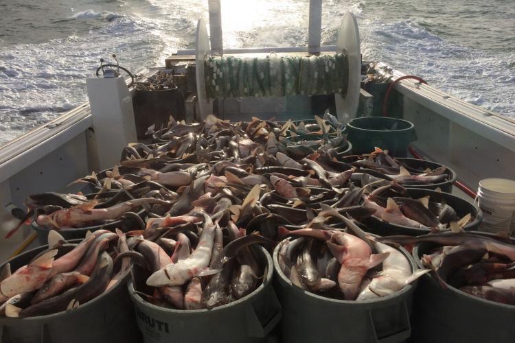 nefop-observer-blog-denise-craft-spiny-dogfish.jpg