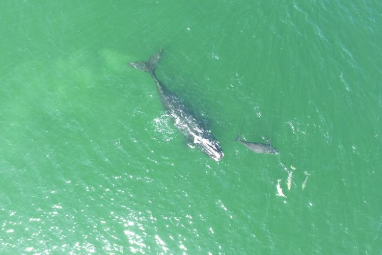 NOAA Fisheries Right Whale Drone Image_40_with dolphins.JPG