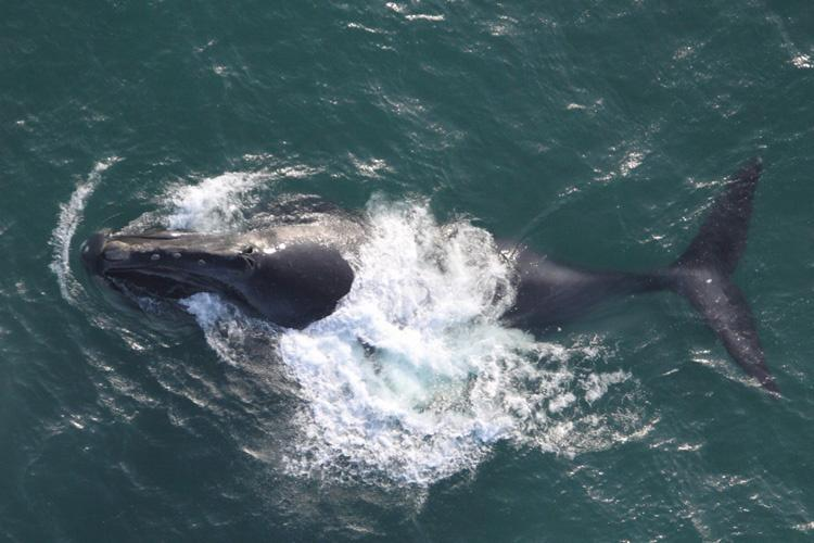 north-pacific-right-whale.jpg