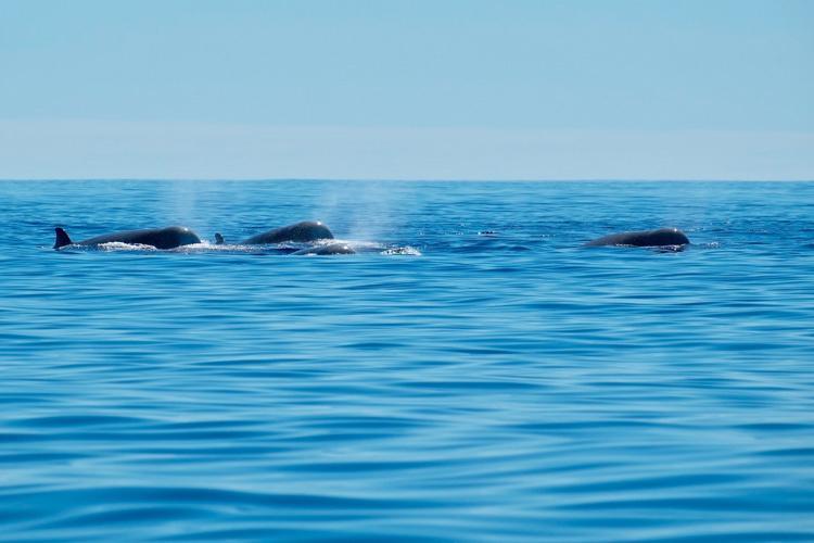 northern-bottlenose-whale.jpg