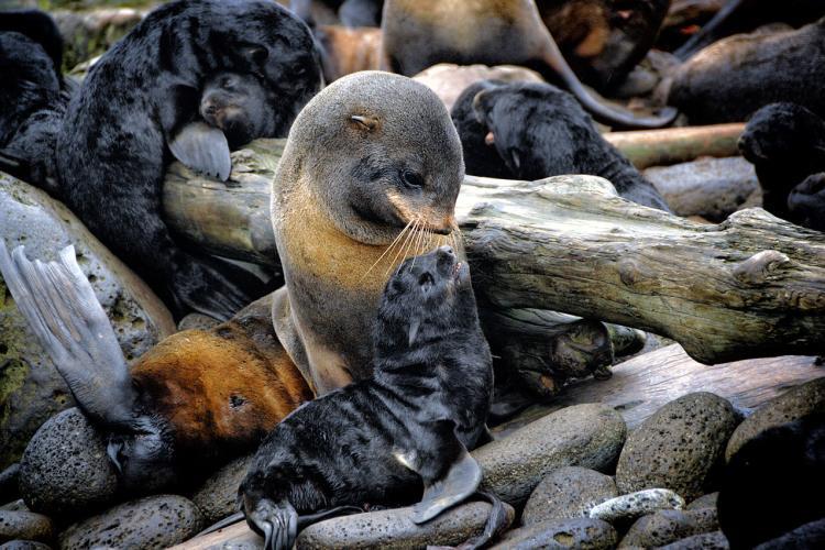 Northern_fur_seal1.JPG