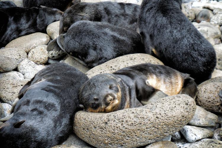 Northern_fur_seal3.JPG