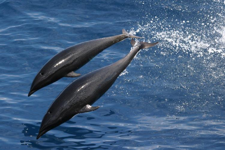Two northern right whale dolphins diving into dark blue water.