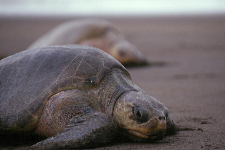 Olive ridley sea turtle on beach.