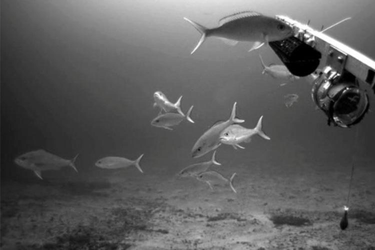 opakapaka-2016-bottomfish-survey-750x500-noaa-fisheries.jpg