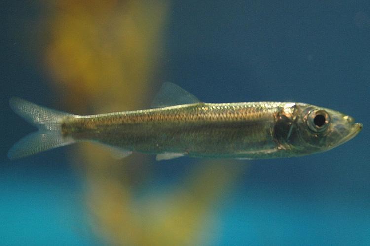 pacific-herring-osaka-aika-aquarium-CC.jpg