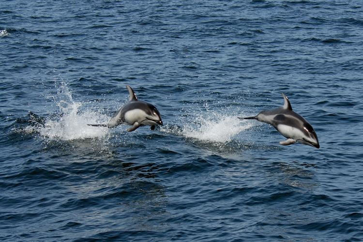 pacific_white_sided_dolphin.jpg