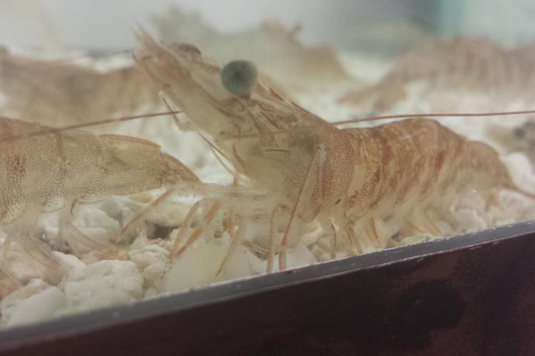 pink-shrimp-holding-tank-2.jpg