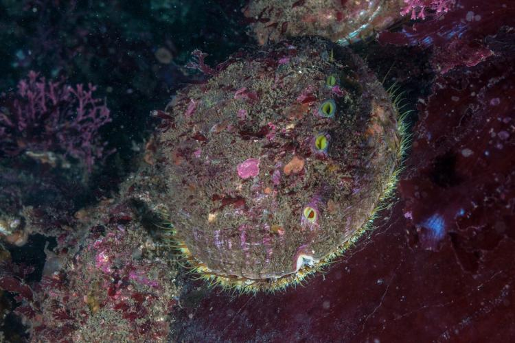 pinto-abalone-dive.jpg
