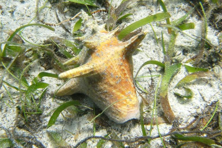queen conch_credit Galveston Lab .jpg