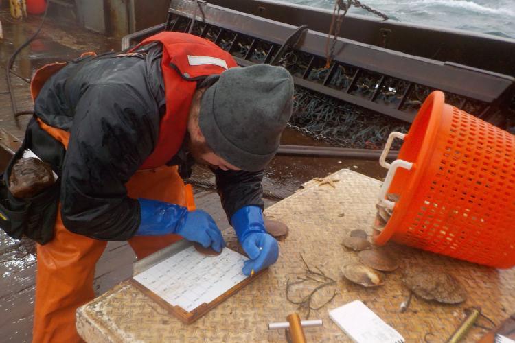 Observer measuring scallop shells, measuring board, and orange basket.
