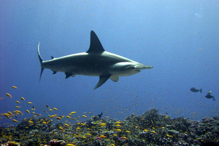 scalloped_hammerhead_shark.jpg