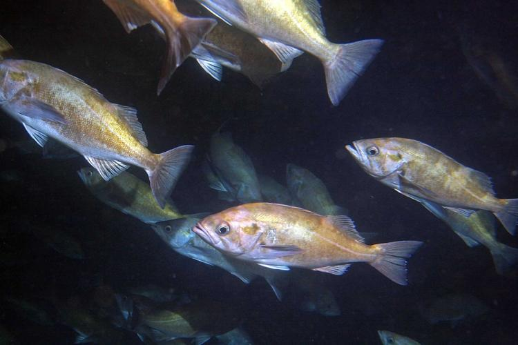 A school of widow rockfish in Soquel Canyon, Monterey Bay. Credit: Diana Watters