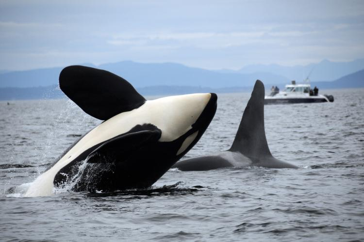 southern resident killer whale leaping in wate.nwfsc.candace emmons.jpg