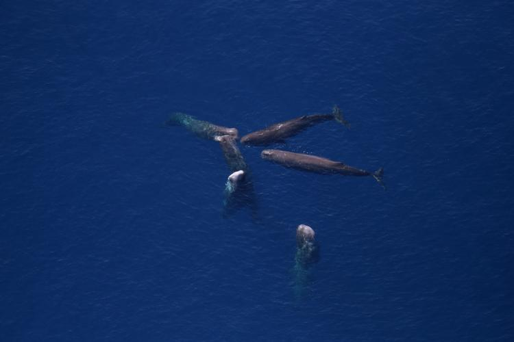 Aerial view of six sperm whales grouped together in dark blue waters.