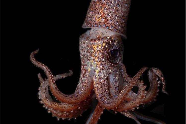 Strawberry- Squid against a dark background.