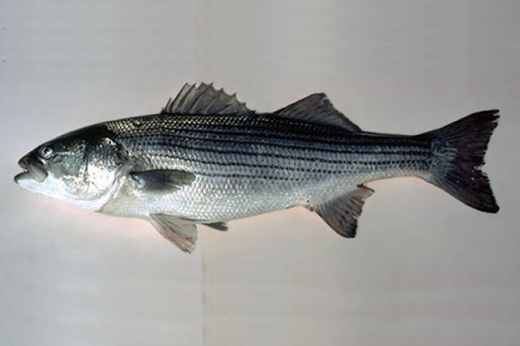 striped-bass.png