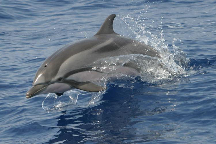 Close up action shot of a striped dolphin jumping out of the water. Face, blowhole, flippers and dorsal fin visible.