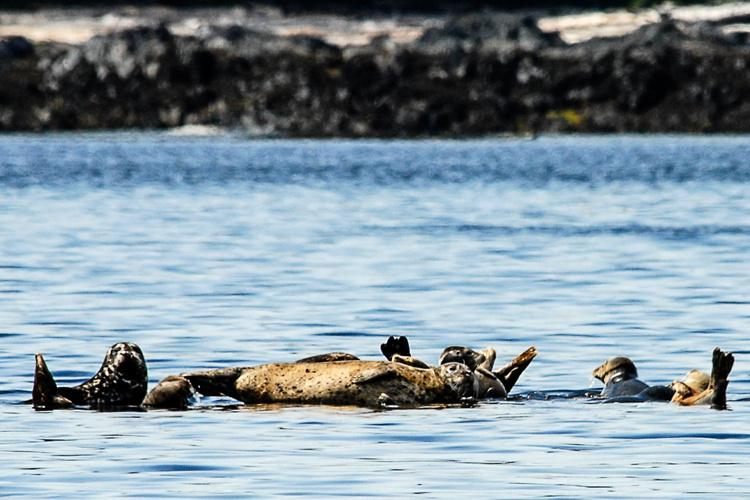 Studying_At-Risk_Harbor_Seals_in_Western_Aleutians-hero.jpg