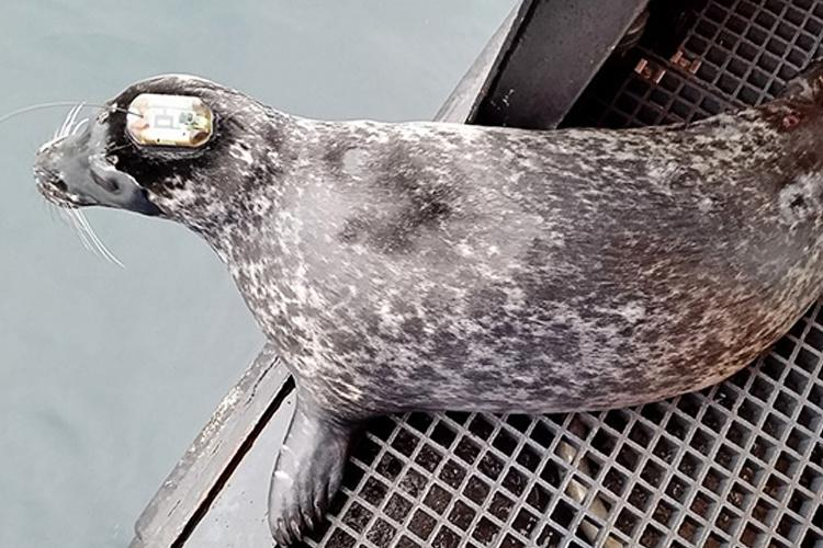Studying_At-Risk_Harbor_Seals_in_Western_Aleutians7-hero.jpg