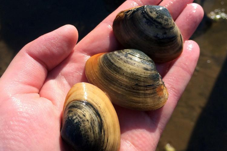 surf-clams.jpg